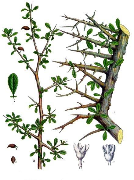 Commiphoram myrrha Köhler–s_Medizinal-Pflanzen-019